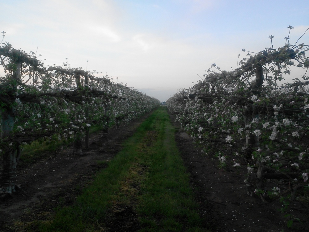 Old Espalier Apple Tree Grove, Bakersfield, California